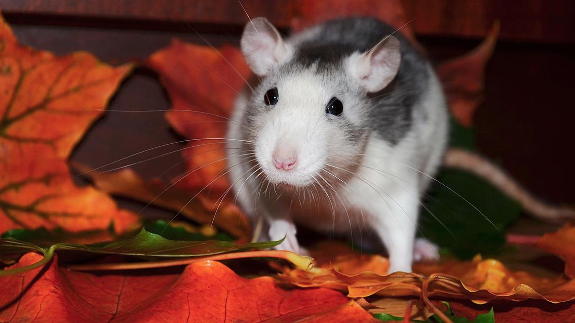 Tu veterinario de Ratas
