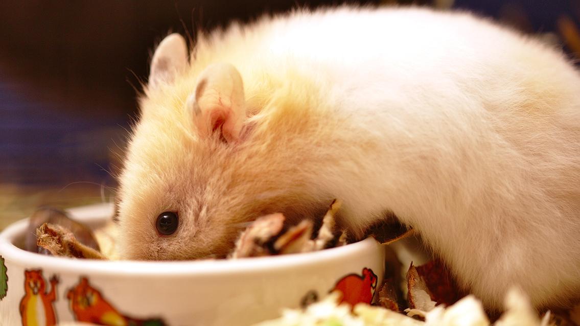 No sólo de pipas vive el hámster: conoce su dieta.