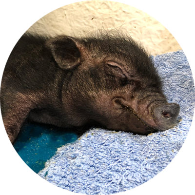 minipig-en-hospital-veterinario-animales-exoticos-24-horas-madrid