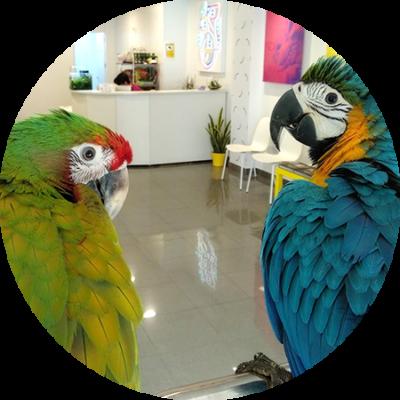 guacamayos-en-veterinario-exoticos-madrid-gwana-vet