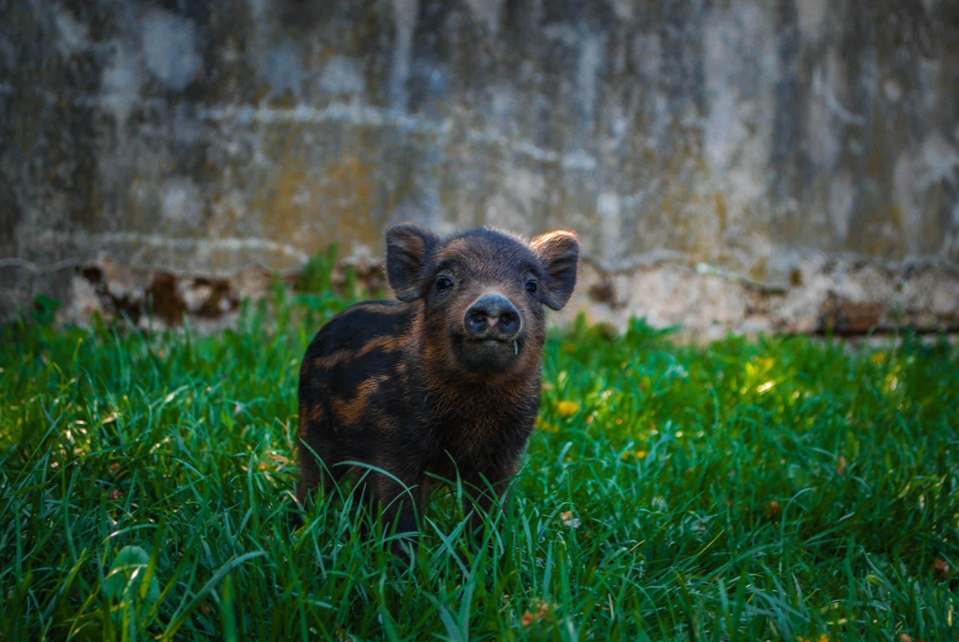 Abandono animales exóticos 2 cerdo abandonado