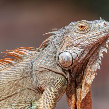 Caso de estudio: Iguana común Juana con herida en la cola